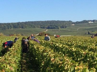 jacquesson-harvest