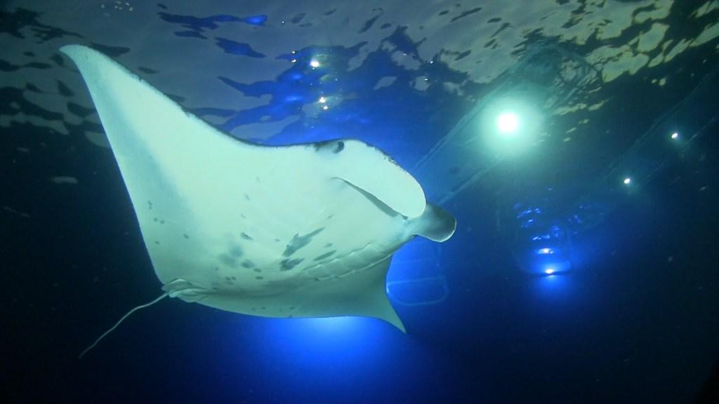 Night swim manta rays