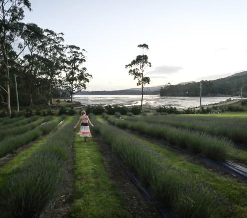 Port Arthur Lavender Farm, Tasmania