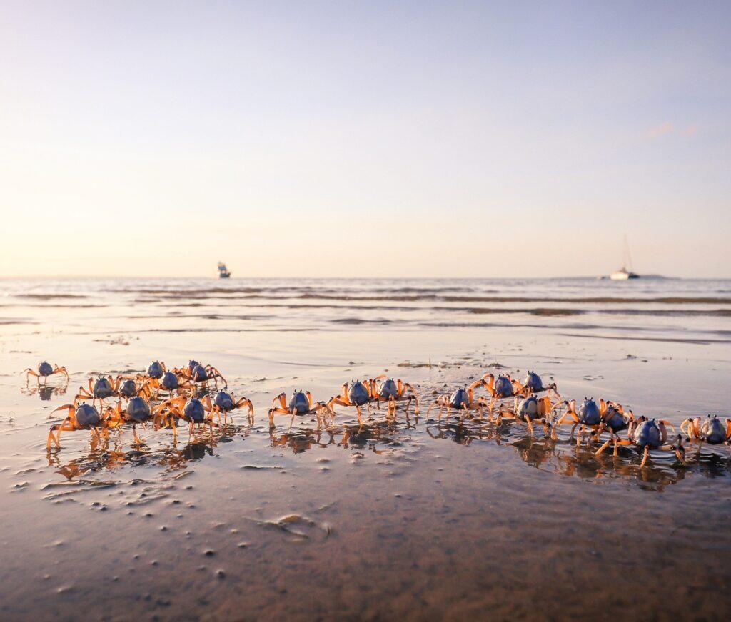 Soldier Crabs, Kingfisher Bay, Fraser Island