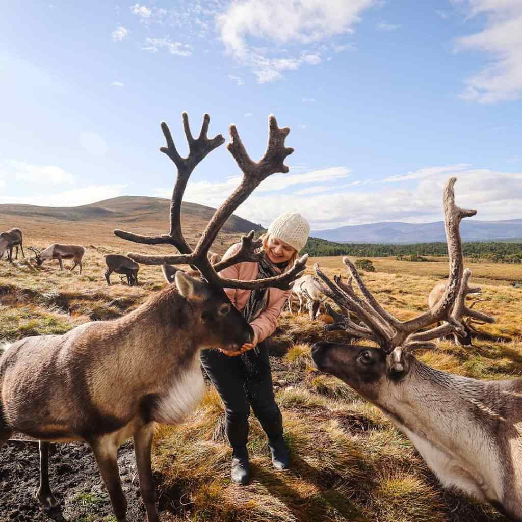 Reindeer in Cairngorms National Park, Scotland