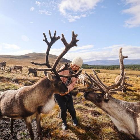 Reindeer in Cairngorms National Park, Scotland