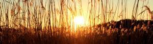 Sunset through grass
