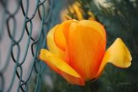 niedostępny tulipan