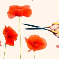 Self-compassion and the Tall Poppy Syndrome