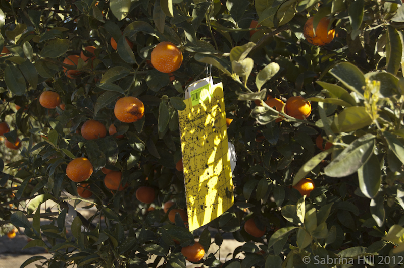 Trap in citrus tree for ACP