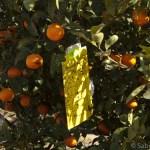 Trap in citrus tree for ACP