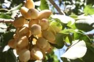 California pistachios