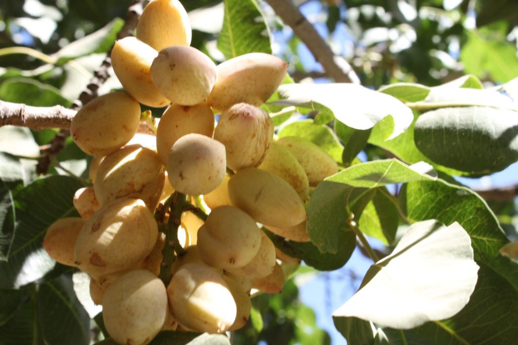 Recent Iran Production Helping California Pistachios