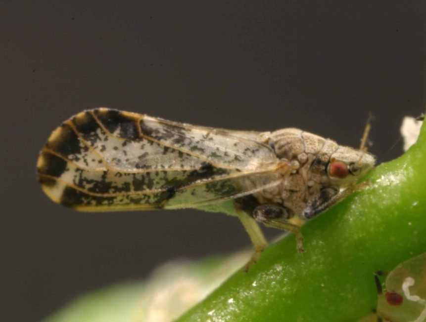 acp Asian Citrus Psyllid