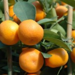 12-31-mandarin