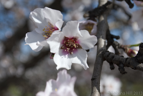 Almond Matters: Timely Applications to Extend Bloom
