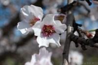 2013-almond-bloom-3
