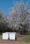 2013-almond-bloom-7