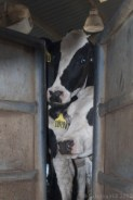California dairy cow in Tulare