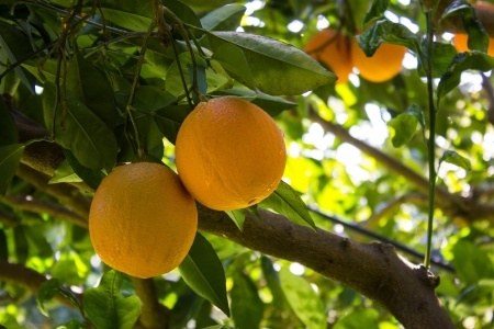 citrus Oranges on branch