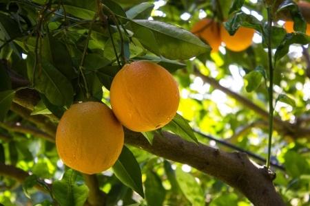 California Citrus Industry