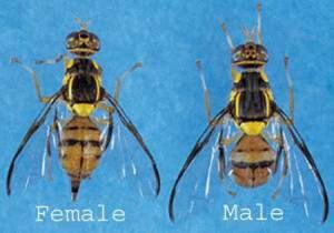 Oriental Fruit Fly Quarantine