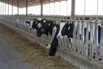 Cows at California Dairy