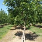 Walnut - Tree