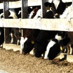 Holstein Cattle Feeder