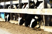 Holstein Cattle Feeder