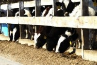 Holstein Cattle Feeder-livestock