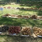 Potatoe Trial