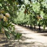 almond grove-california