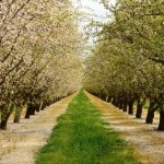 almond grove-central california