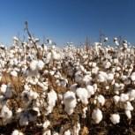 Cotton Supplies