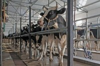 dairy cows in milking parlor