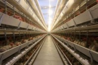 poultry-chicken-egg farm