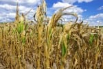 Drought Damaged Cornfield
