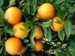 oranges hanging from a orange tree