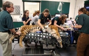 UC Davis veterinary surgeons prepare to operate on an ailing tiger in 2013.  Photo from the Davis Enterprise