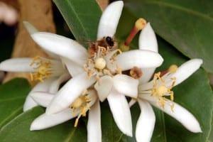 citrus bloom