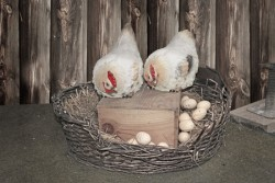 Chickens and eggs in nest