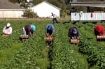 Migrant workers working in the strawberry field