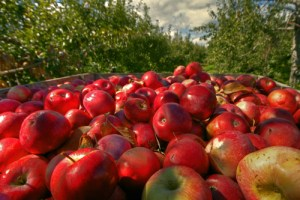 Apple crate 34