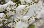 Spring Fruit Blossoms