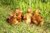 Small chickens graze on grass backyard
