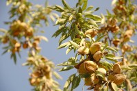 Almond tree at the harvest time. California, USA
