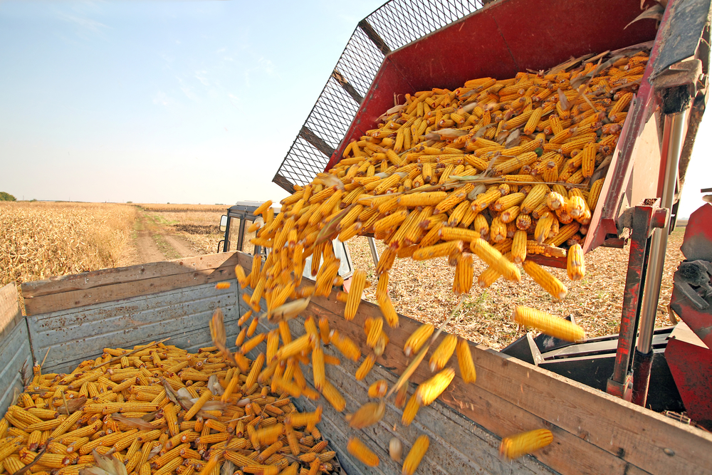 USDA boosts its guess of Iowa corn production""