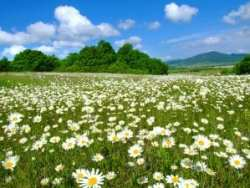 Idyllic daisy meadows