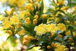 Yellow flowers blooming on Carolina Jessamine