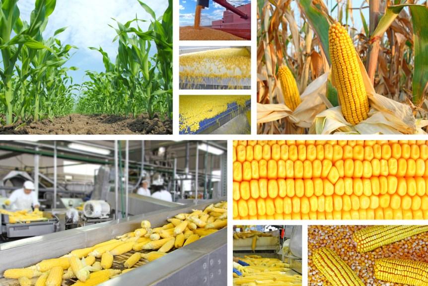 November corn crop production
