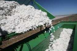cotton harvestring
