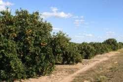 Florida Orange Crop 1