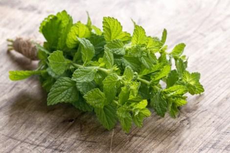 Bunch of green fresh mint herbs